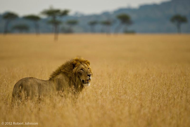 Simba or lion (Panthera leo)