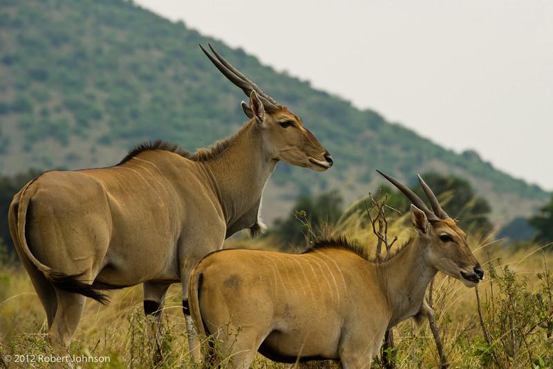 Pofu or eland (Taurotragus oryx)