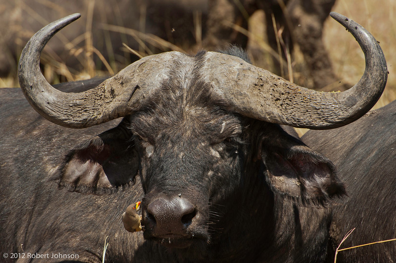 Mbogo or African buffalo (Syncerus caffer)