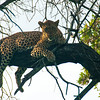 Leopard on top of the tree