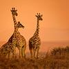 Mara Giraffe Sunset