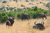 Wild buffalo herds of the Mara plains