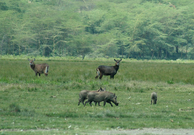 Water bucks, warthogs.