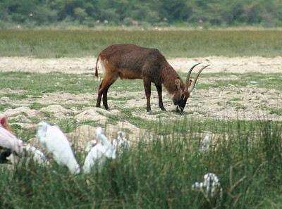 Grazing water buck.