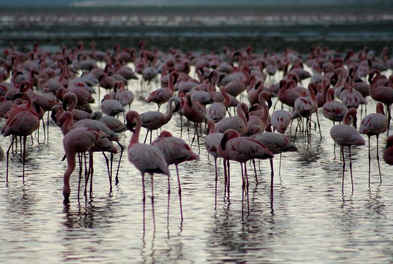 Thousands of flamingos on the Nakuru Lake.