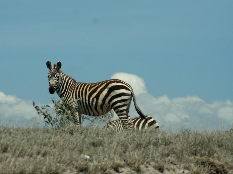 Zebra on the horizon