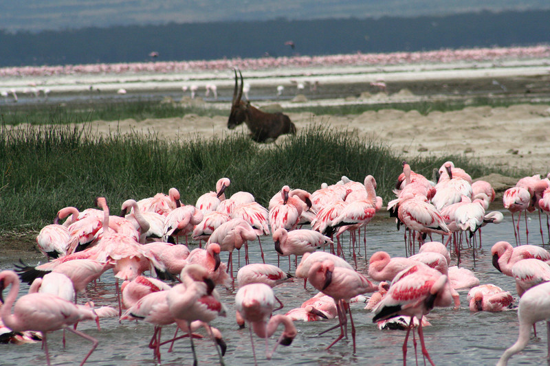 Flamingos, waterbuck