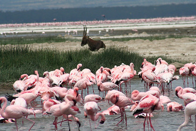 Flamingos, waterbuck