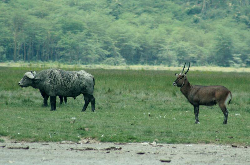 Wildlife on the lake shores - buffalos, waterbucks.