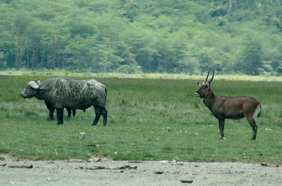 Wildlife on the lake shores - buffalos, waterbucks.