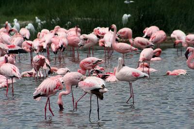 East African Safari September 2006 (Lake Nakuru National Park, Kenya)- I