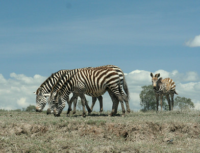 Zebras - seen all over the National  Parks as well by the roadside..