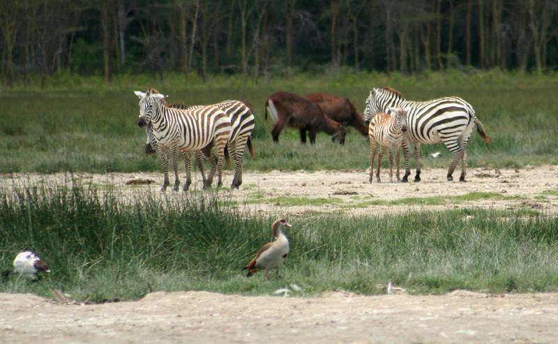 Zebras, water bucks, egyptian geese.