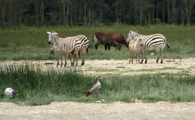 Zebras, water bucks, egyptian geese.