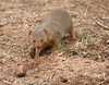 The surrounding lodge grounds were full of wildlife: birds, animals. A group of mongoose were playing around and this one was digging a hole looking for insects.
