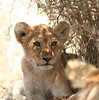The lion cubs were the most beautiful and what a joy to watch them playing around!