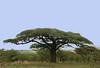 Umbrella Acacia tree - a symbol of the African plains