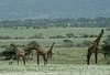 Giraffee herd at a distance