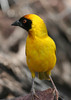 Village Weaver - a  common bird seen in most parks