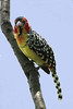 Red and Yellow Barbet - a most colorful bird