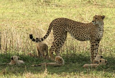 Safari in Tanzania Jan 2008 (Ngorongoro Conservation Area/Serengeti)