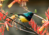 There were a lot of sunbirds of varied colors flitting over the flowering bushes of the lodge grounds.<br /> They were sipping nectar with their long curved beaks. The iridescent colors were gorgeous. <br /> Very difficult feat to capture on film these constantly flitting little birds.