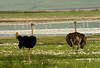 Pair of Ostriches (Male on the left)