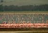 Soda Lake covered with Flamingos