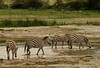 Herd of zebras quenching their thirst