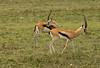 Thomson's Gazelles (Male)