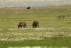 Pair of black rhinos at a distance