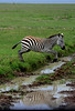 Zebra navigating a puddle