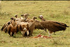 Lappet-faced Vultures feeding on a wildebeest carcass