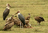 Marabou Storks standing around to get a chance to feed on the wildebeest carcass surrounded by the feeding lappet-faced vultures.