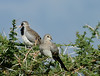 Pair of Namaqua Doves (Male on the left)