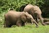Elephants feeding
