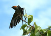Striped Swallow taking off
