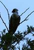 Bare-faced Go-away Bird