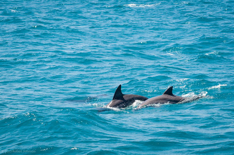 Pod of dolphin