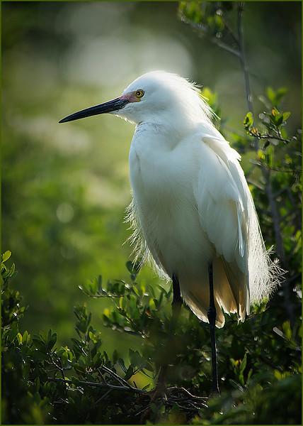 Single Egret
