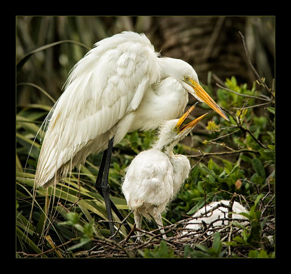 Egret and Chicks