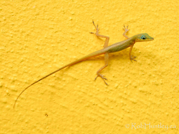 Lizard on a yellow wall.