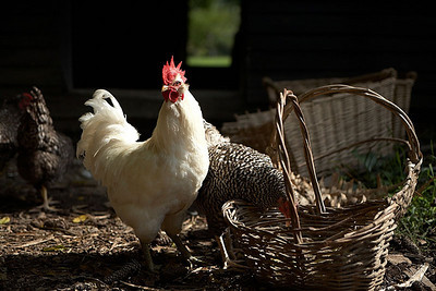 Chickens were also kept on the plantation.