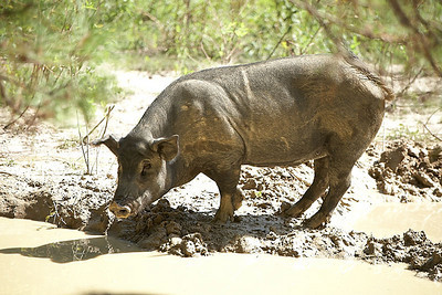 Pigs were one of the animals kept on the plantation.