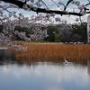 Great Egret Enjoying Cherry Blossoms, 2017.