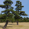 Japanese black pine trees at the Imperial Palace, 2017.