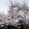 Cherry Blossoms 2017.