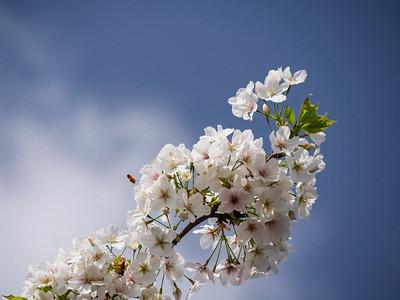 Sakura - Cherry Blossoms in Tokyo, April 6, 2017