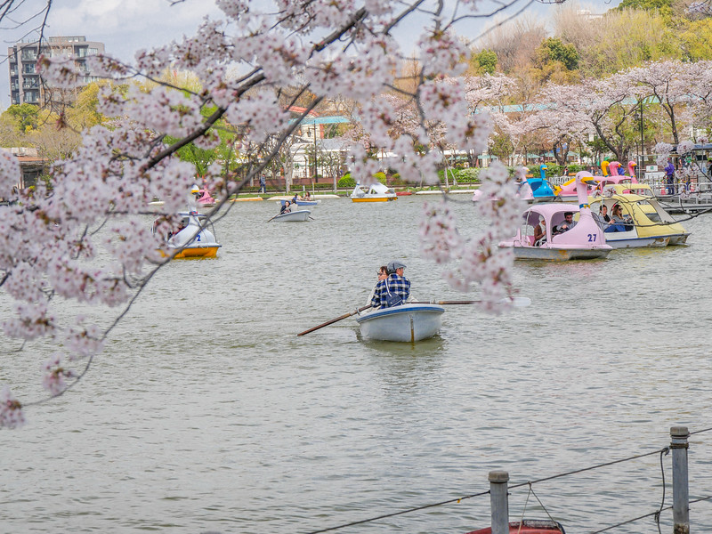 Boats on Shinobaze Pond during Cherry Blossoms, 2017.