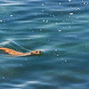 Swimming back into shallower water